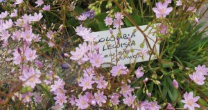 Columbia lewisia – cheerful and helpful!