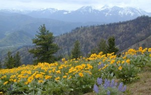 Balsamroot time