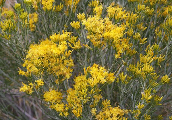 631px-Rabbitbrush_dark_gold_flowers