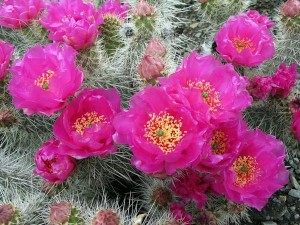 Native Cacti of Central Washington