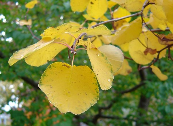 Amelanchier_alnifolia_autumn