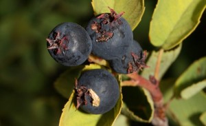 Serviceberry – or is it Saskatoon?