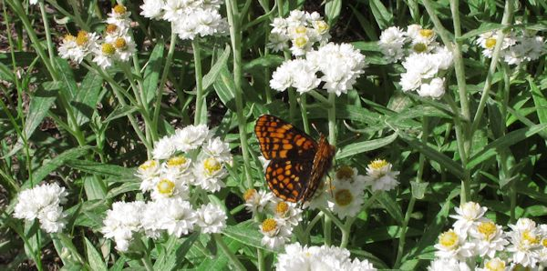 ANMA with (Hoffman's) checkerspot