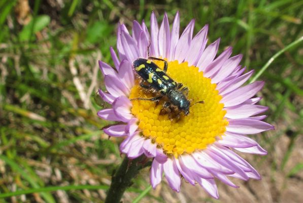 Erigeron peregrinus with Trichodes checkered beetle