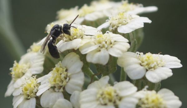 Steve Masley parasitic-wasp-achillea-lg