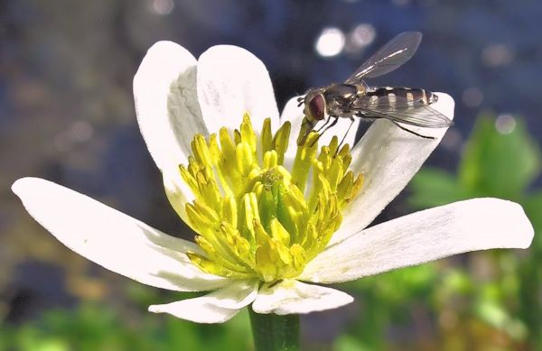 syrphid on Caltha leptosepala CROP