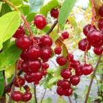 Harvesting summer fruits