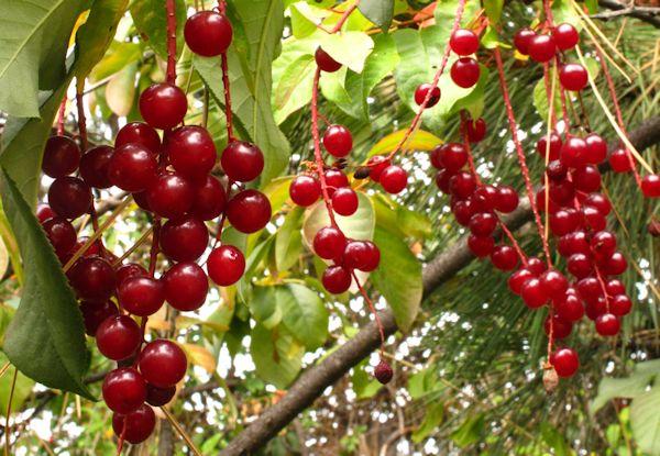 PRVI fruit