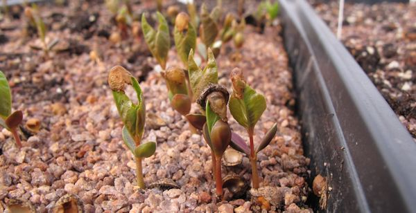 PRVI seedlings