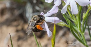 Native Plants for Native Bees