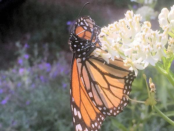 monarch adj