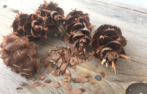 Collecting conifer cones… and thinking of wildfire