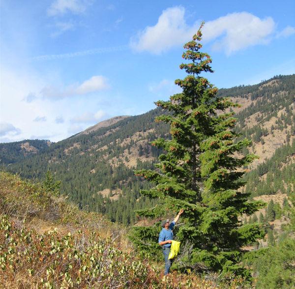 collecting Doug fir cones ADJ