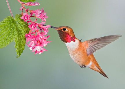 Rufous Hummingbird (Selasphorus rufus) feeding at a Red Currant plant in Victoria, BC, Canada.