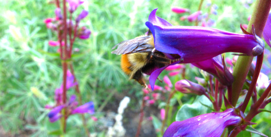Bumblebee in it crop