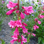 Penstemon Time