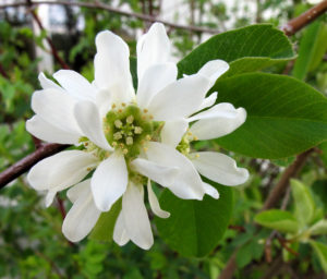Serviceberry, or is it Saskatoon?
