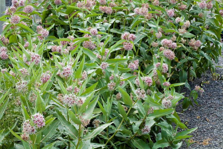 Milkweed for central washington the most widespread of these is the showy milkweed asclepias speciosa shown in the photos above like all milkweeds it has a wonderfully complex flower publicscrutiny Images