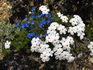 Botanical Wonders in the Sawtooths