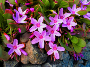 Alpine Springbeauty – Wow!